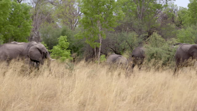 elephants in hwange national park - herd stock videos & royalty-free footage