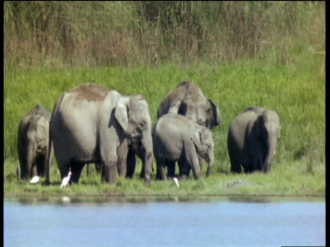 stockvideo's en b-roll-footage met elephants in marshland feeding, pulling up and flailing grass with their trunks to remove soil in kaziranga national park (assam, india) - neus van een dier