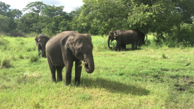 Elephants in Minneriya Wildlife Reserve, Sri Lanka