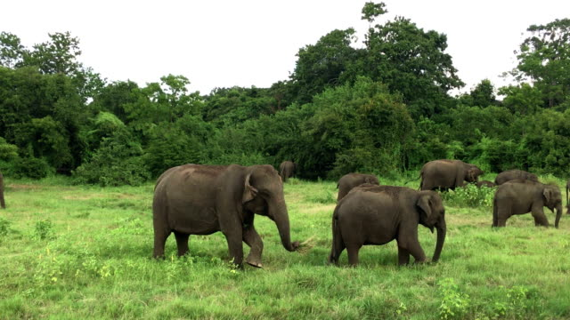 elephants in minneriya wildlife reserve, sri lanka - group of animals stock videos & royalty-free footage