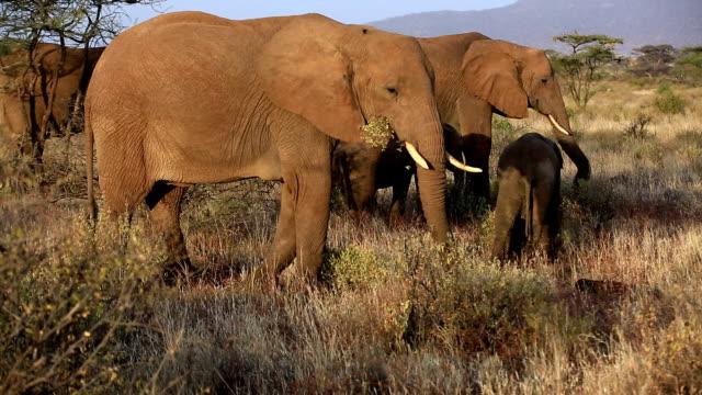 vídeos y material grabado en eventos de stock de elefantes en safari salvaje en - reserva nacional de masai mara