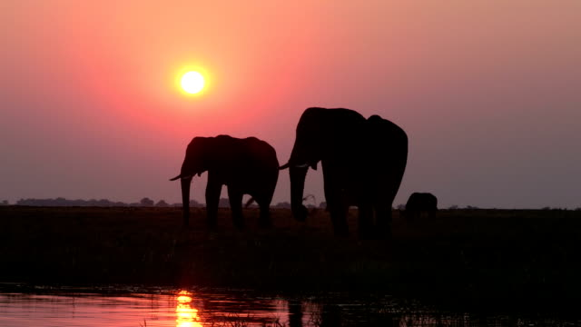Elephants in silhouette against setting sun on the Chobe river.Chobe National Park.Botswana