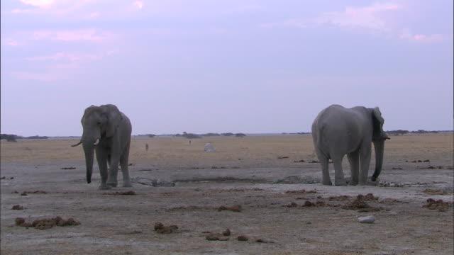 vídeos y material grabado en eventos de stock de elephants in the dried-out wetland of okavango delta - oreja animal
