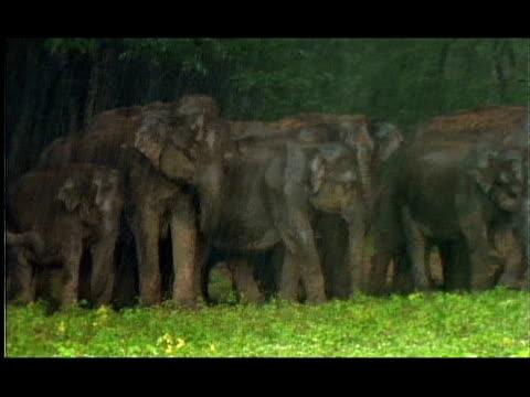 elephants (elephas maximus) in the monsoon rains, nagarahole, southern india - hiding stock videos & royalty-free footage