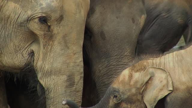 CU ZO WS Elephants lounging in river, Pinnewala, Sri Lanka