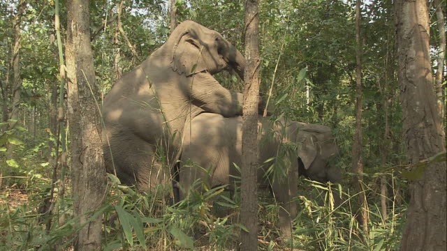ZI Elephants mating in the forest / Thailand
