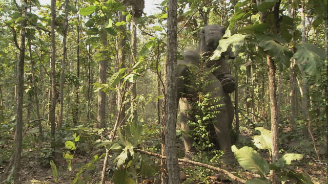 ZO Elephants mating in the jungle / Thailand