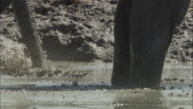elephants mud bathe in waterhole, botswana - 厚皮動物点の映像素材/bロール