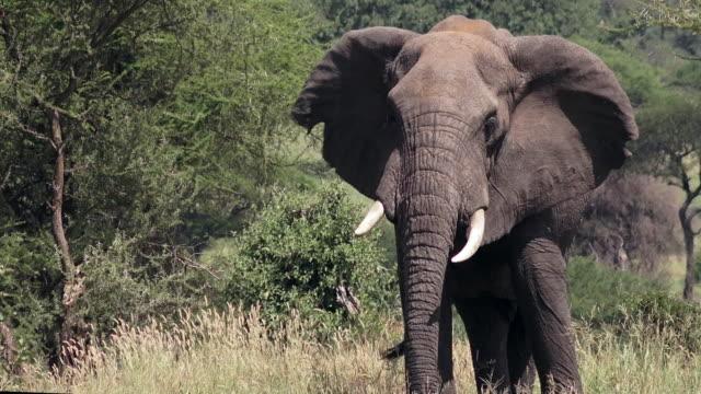 vídeos y material grabado en eventos de stock de elephants of tarangire national park, tanzania - oreja