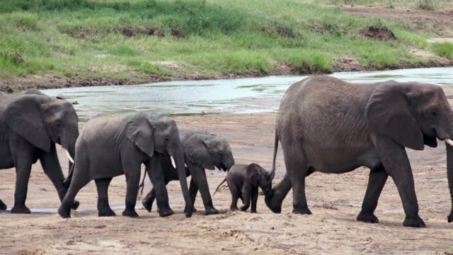 elephants of tarangire national park, tanzania - herd stock videos & royalty-free footage