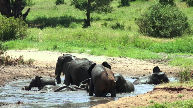 elephants of tarangire national park, tanzania - taking a bath stock videos & royalty-free footage
