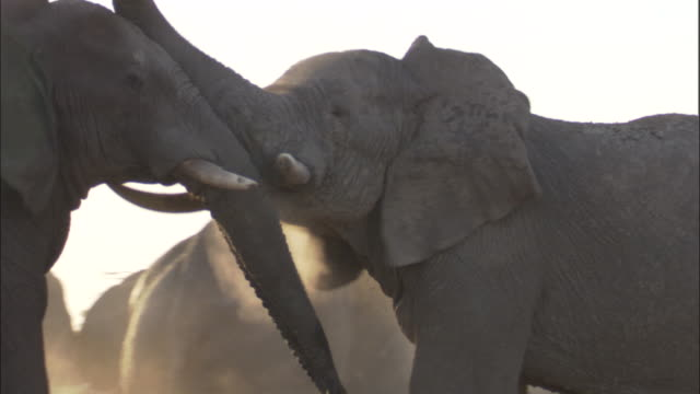 Elephants play fight, Botswana