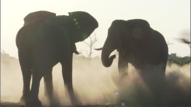 Elephants play fight on dusty savannah, Botswana