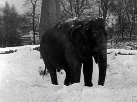 Elephants play in the snow at London Zoo