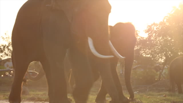 elephants return to corral from day's work - corral stock videos & royalty-free footage