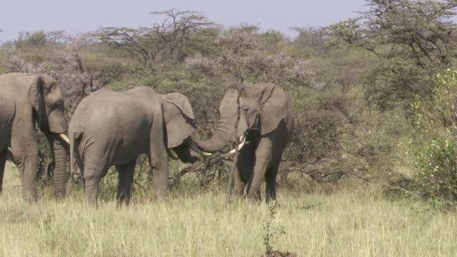 stockvideo's en b-roll-footage met  ms zi elephants showing affection / tanzania - kleine groep dieren