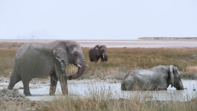 ws elephants soaking and splashing in water,etosha national park,namibia,africa - three animals stock videos & royalty-free footage
