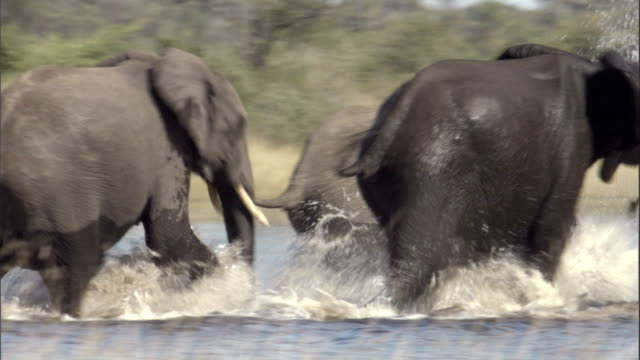 vídeos de stock, filmes e b-roll de elephants splash across a watering hole. available in hd. - formato de alta definição