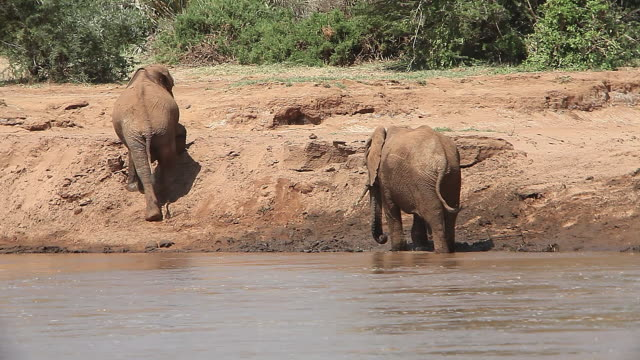 ms elephants standing and walking at river / national park, africa, kenya - herbivorous stock videos and b-roll footage