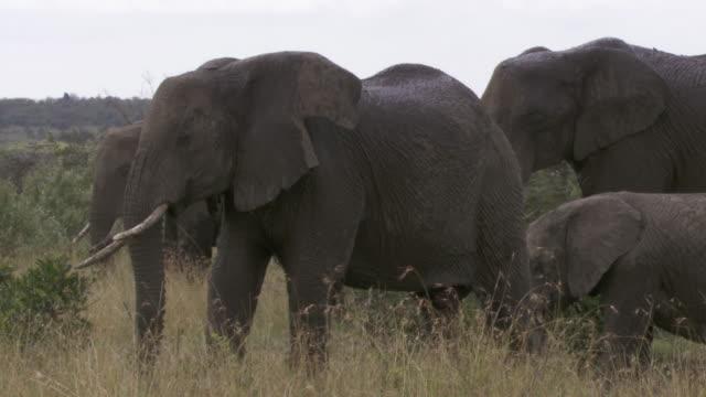 ms elephants standing in high grass / tanzania - kleine gruppe von tieren stock-videos und b-roll-filmmaterial