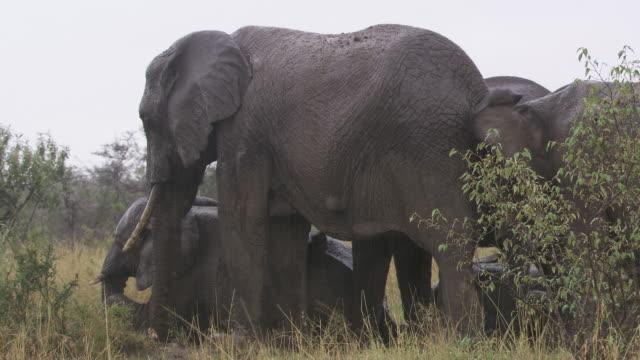 ms elephants  standing in mud at rain / tanzania - kleine gruppe von tieren stock-videos und b-roll-filmmaterial