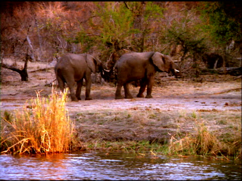 elephants standing on riverbank, botswana - animal nose stock videos & royalty-free footage