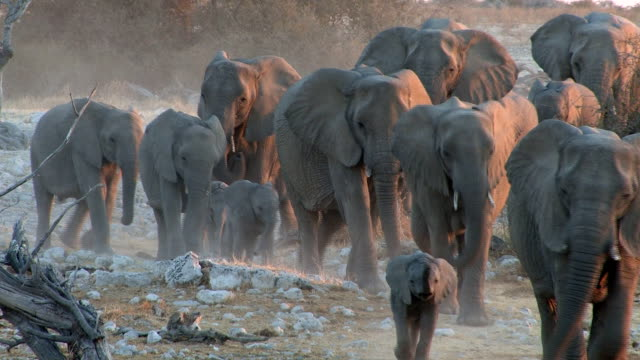 stockvideo's en b-roll-footage met elephants - namibië