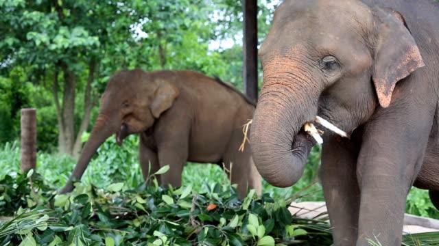 elefanten - grasen stock-videos und b-roll-filmmaterial