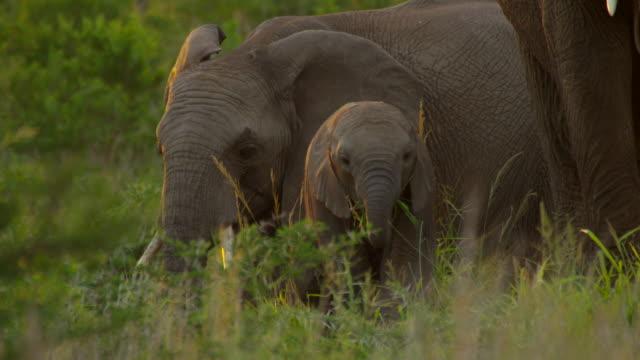 vídeos y material grabado en eventos de stock de elephants - grupo pequeño de animales
