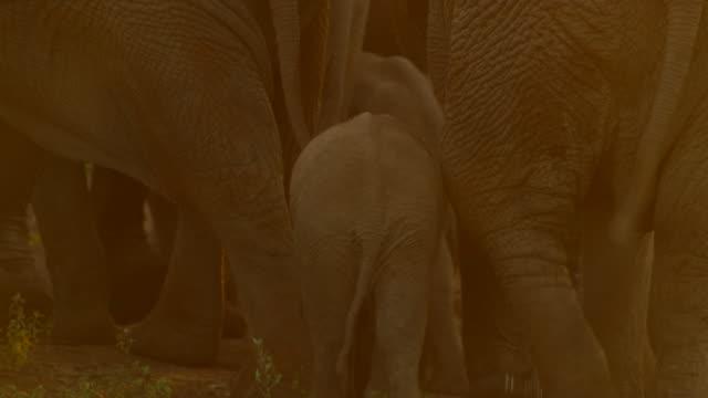 vidéos et rushes de elephants - fondu d'ouverture