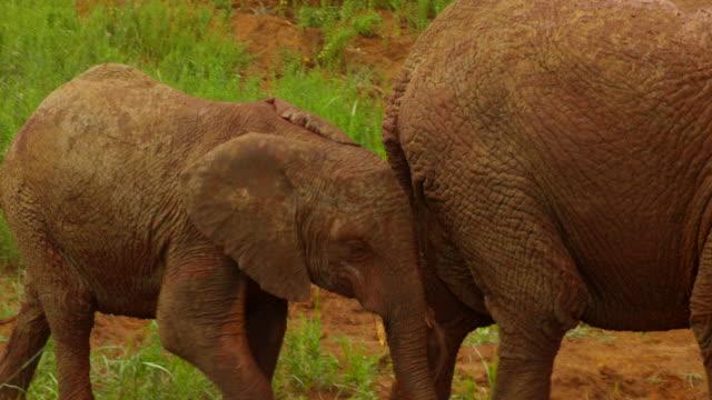 vidéos et rushes de elephants - éléphanteau