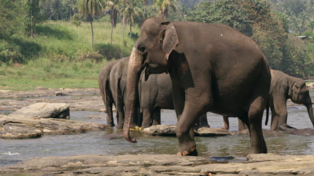 ms elephants wading in water,sri lanka - cinque animali video stock e b–roll