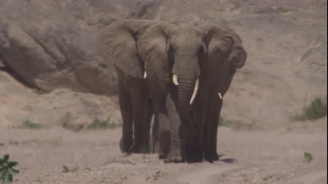 elephants walk in desert heat haze, skeleton coast, namibia. available in hd. - namibia stock videos & royalty-free footage