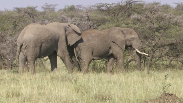 stockvideo's en b-roll-footage met  ms pan elephants walking and eating branches / tanzania - kleine groep dieren