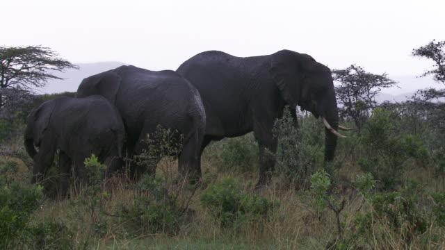 ms zi pan elephants  walking and eating  grass / tanzania - kleine gruppe von tieren stock-videos und b-roll-filmmaterial