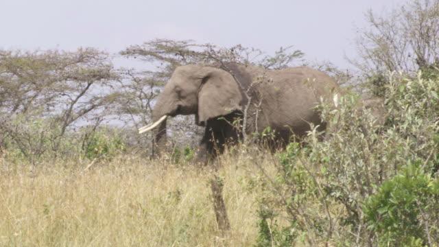 ms pan elephants walking in bush / tanzania - kleine gruppe von tieren stock-videos und b-roll-filmmaterial