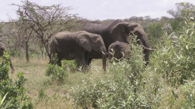 stockvideo's en b-roll-footage met ms elephants walking in bush / tanzania - kleine groep dieren