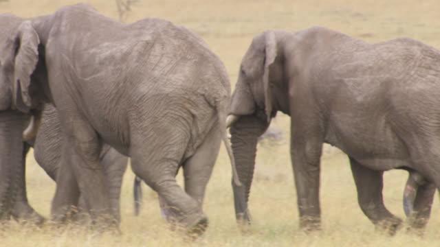 vídeos y material grabado en eventos de stock de ms pan elephants walking in grass / tanzania  - nariz de animal