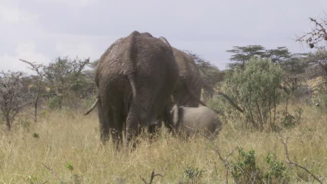 ms pan elephants walking in grass, tree and mud / tanzania - gruppo medio di animali video stock e b–roll