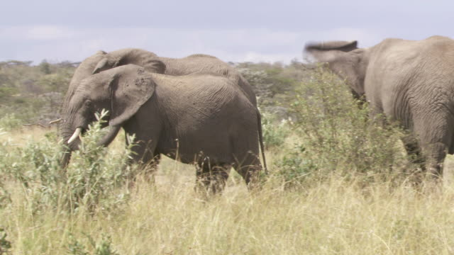 ms ts elephants walking in mud / tanzania - gruppo medio di animali video stock e b–roll