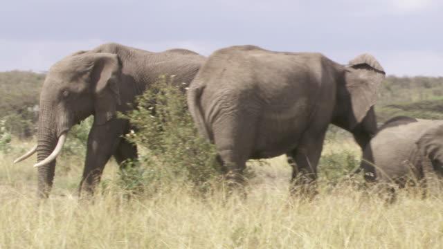 ms ts zi elephants walking in mud / tanzania - kleine gruppe von tieren stock-videos und b-roll-filmmaterial