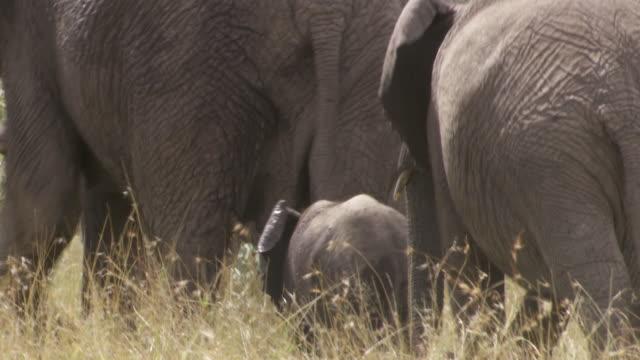 ms tu elephants walking in mud / tanzania - gruppo medio di animali video stock e b–roll