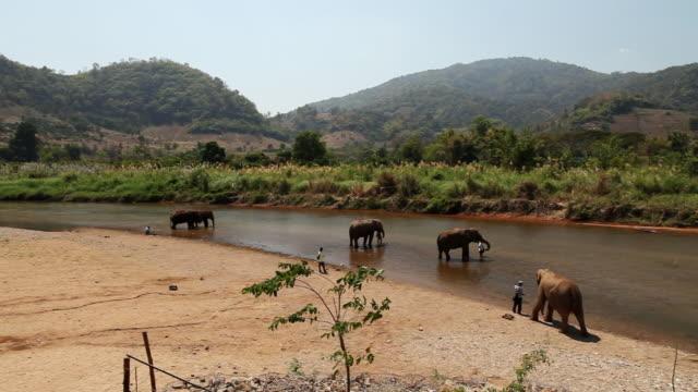vídeos de stock e filmes b-roll de ws pan elephants walking in river / chaing mai, chiang mai, thailand - thailand