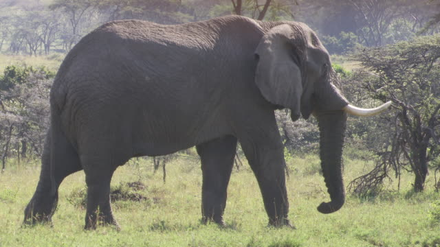 MS TS Elephants walking through grassland / Tanzania