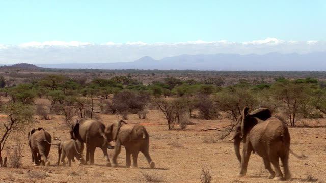 Elephants walking toward Ewaso Niro River,  Samburu National Reserve, Kenya