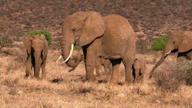 Elephants walking toward Ewaso Niro River,  Samburu National Reserve, Kenya