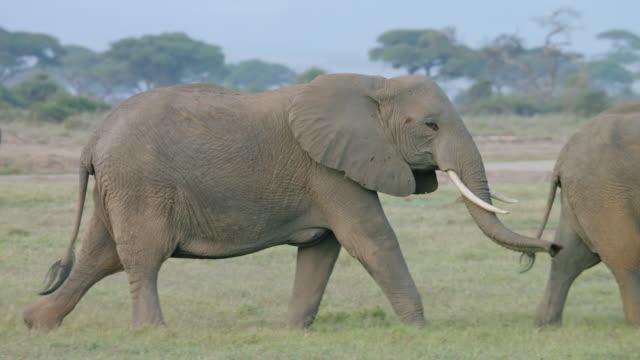 vídeos y material grabado en eventos de stock de ms pan elephants walking with safari vehicle in background / kenya - safari
