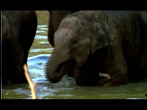 elephants (elephas maximus) with calfs drinking in water hole, nagarahole, southern india - medium group of objects stock videos & royalty-free footage