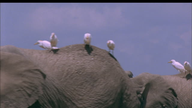 elephants with egrets on back walk right to left past camera, africa available in hd. - herd stock videos & royalty-free footage