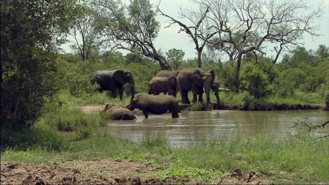 vídeos de stock, filmes e b-roll de ws elephants with swamp in foreground / lowfeld, swaziland - grupo médio de animais